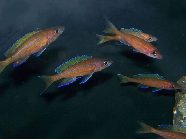 Paracyprichromis nigripinnis — wikipedia republished // wiki 2