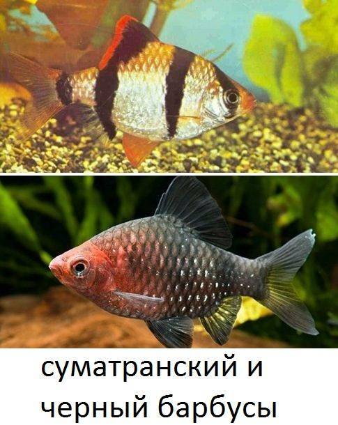 Барбус огненный (barbus conchonius)